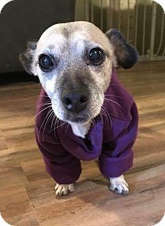 Chihuahua/Dachshund Mix Dog for adoption in Washington DC, D.C. - Sable-DIABETIC