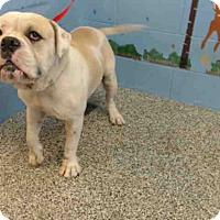 Adopt A Pet :: URGENT on 4/27 SAN BERNARDINO - San Bernardino, CA