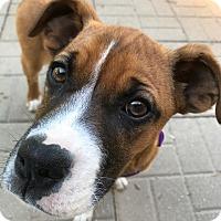 Adopt A Pet :: Lexi - Newport, KY