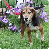 Adopt A Pet :: Boots - Livonia, MI