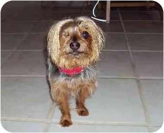 Yorkie, Yorkshire Terrier Dog for adoption in West Palm Beach, Florida - Randy