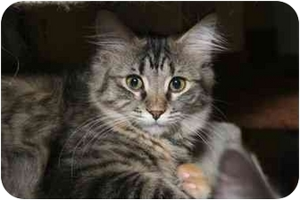 Domestic Longhair Kitten for adoption in Cincinnati, Ohio - Alanis