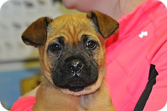 Boxer Mix Puppy for adoption in Millersville, Maryland - Pancake