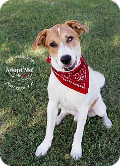 Australian Shepherd Mix Dog for adoption in Gilbert, Arizona - Joey