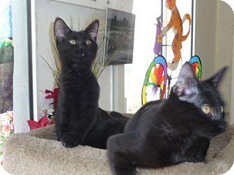 Domestic Shorthair Kitten for adoption in Monrovia, California - Teddy and Bear