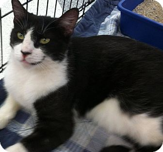American Shorthair Cat for adoption in La Canada Flintridge, California - Spike