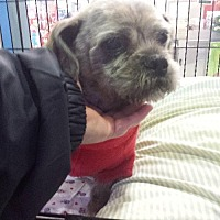 Shih Tzu/Brussels Griffon Mix Dog for adoption in Porter Ranch, California - Waldo
