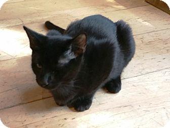 Domestic Shorthair Kitten for adoption in Grand Junction, Colorado - Zorro