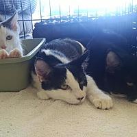 Domestic Shorthair Cat for adoption in Berkeley Hts, New Jersey - Basil, Juniper & Alfalfa