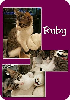 Domestic Shorthair Kitten for adoption in North Richland Hills, Texas - Ruby