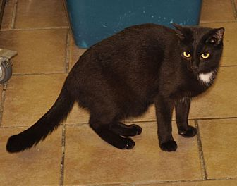 Domestic Shorthair Cat for adoption in Sunrise Beach, Missouri - Pitch