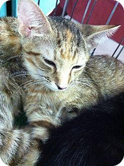 Domestic Shorthair Kitten for adoption in Seminole, Florida - Hermoine & Jelicka