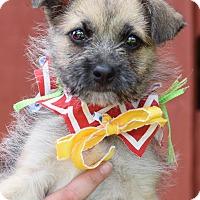 Border Terrier Mix Puppy for adoption in Denver, Colorado - Roux