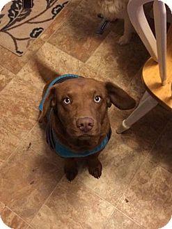 Labrador Retriever/Husky Mix Dog for adoption in Gallatin, Tennessee - Maddie
