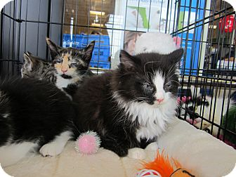 Maine Coon Kitten for adoption in Easley, South Carolina - Puddy Cat