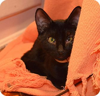 Bombay Kitten for adoption in Brooklyn, New York - Monty