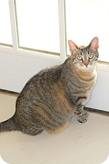 Domestic Shorthair Cat for adoption in Trevose, Pennsylvania - Holly