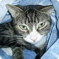 Domestic Mediumhair Cat for adoption in Huntington, New York - Daly