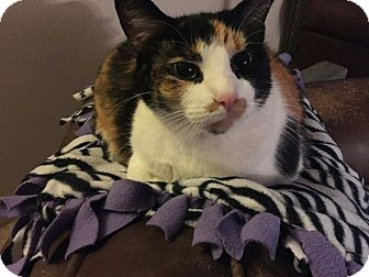 Calico Cat for adoption in Orland Park, Illinois - Stella