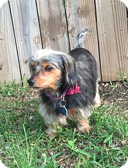 Dachshund/Yorkie, Yorkshire Terrier Mix Dog for adoption in Pearland, Texas - Harley