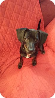 Dachshund/Fox Terrier (Smooth) Mix Puppy for adoption in Canton, Ohio - Lady- Adoption Pending