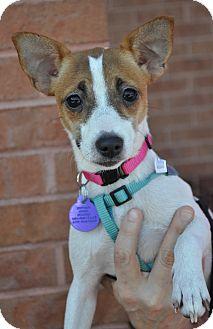 Jack Russell Terrier Mix Dog for adoption in Atlanta, Georgia - Sadie