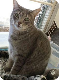 Domestic Mediumhair Cat for adoption in Denver, Colorado - Santos