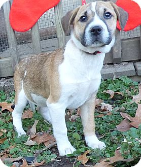 Boxer/Feist Mix Puppy for adoption in Hartford, Connecticut - Vixen