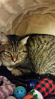 Domestic Mediumhair Cat for adoption in Chippewa Falls, Wisconsin - Raelin