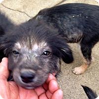 Adopt A Pet :: Klosterman Max. Compton Puppy - Corona, CA