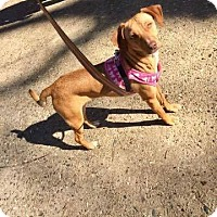 Adopt A Pet :: Bonnie in Ct - Manchester, CT
