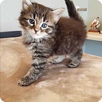 Adopt A Pet :: Toulouse $75 - Seneca, SC