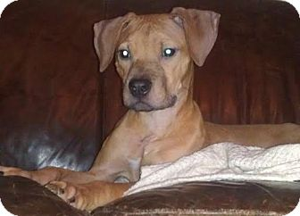 American Pit Bull Terrier/Dachshund Mix Puppy for adoption in Scottsdale, Arizona - Buster Brown