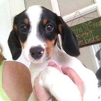 Dachshund/Jack Russell Terrier Mix Puppy for adoption in Richmond, Virginia - Clover