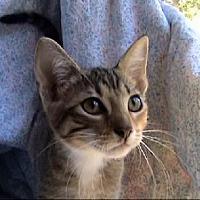 Adopt A Pet :: A-Kitten #5 (runt) - Tyler, TX