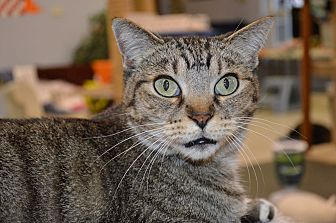 Domestic Shorthair Cat for adoption in House Springs, Missouri - Baby Gato
