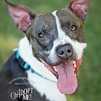Italian Greyhound/Boston Terrier Mix Dog for adoption in Chandler, Arizona - SQUEAKY