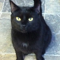 Domestic Shorthair Cat for adoption in Montreal, Quebec - Nellie