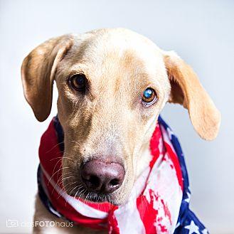 Labrador Retriever Dog for adoption in Phoenix, Arizona - COCO