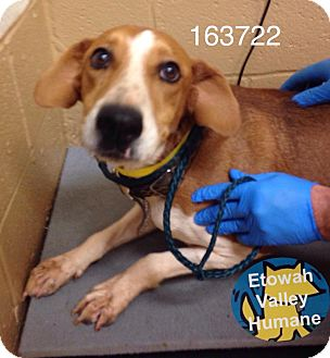 Hound (Unknown Type) Mix Dog for adoption in Boston, Massachusetts - Shilo