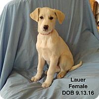Adopt A Pet :: Lauer-pending adoption - Manchester, CT