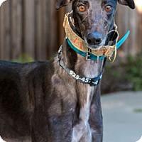 Adopt A Pet :: Shaker - Walnut Creek, CA