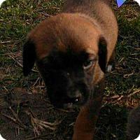 Adopt A Pet :: Drake - New Haven, CT