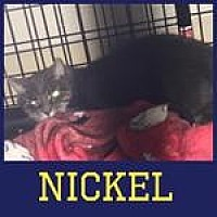 Adopt A Pet :: Nickel - Westbury, NY