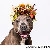 Adopt A Pet :: ARCHIBALD - Reno, NV