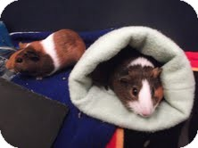 Guinea Pig for adoption in Fullerton, California - Katy and Flora