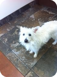 American Eskimo Dog/Westie, West Highland White Terrier Mix Dog for adoption in Russellville, Kentucky - Angel Baby
