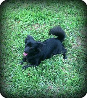 Pomeranian Mix Puppy for adoption in Danbury, Connecticut - Lulu Belle -  SWEET