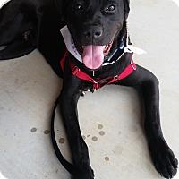 Adopt A Pet :: Louie - Huntsville, AL