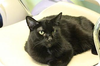 Domestic Shorthair Cat for adoption in Indianapolis, Indiana - Harley
